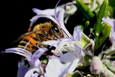 A bee collecting nectar from a flower