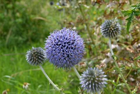 Thistles in the wildflower meadow