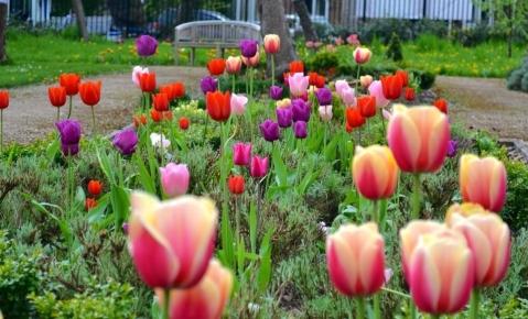tulips in the Friends' Garden .
