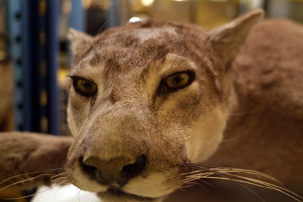 Taxidermy cougar.